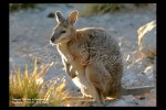 Tammar wallaby at Kangaroo Island, S. Australia